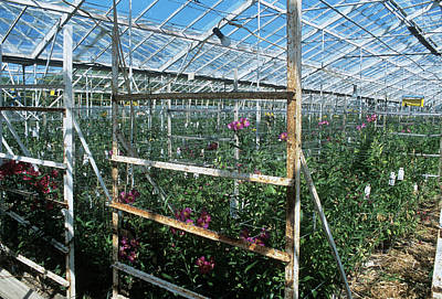 Peru Photograph - Alstroemeria Cultivation by Adrian Thomas/science Photo Library