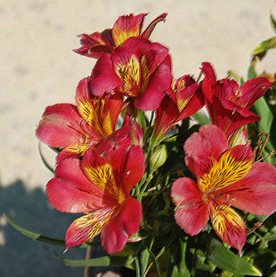 Photograph - Alstroemeria In Pastel by Suzanne Gaff