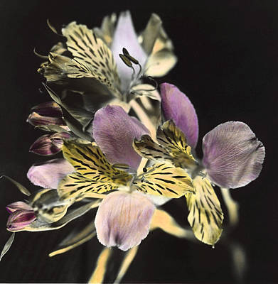 Art Print featuring the photograph Alstroemeria by Lana Enderle
