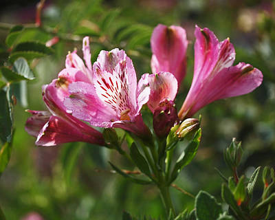 Photograph - Alstroemeria by Rona Black