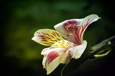 Peruvian Lily Photograph - Alstroemeria One by Darlene Kwiatkowski