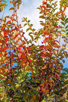 Photograph - Although It's Nearly Winter My Crepe Myrtle Is Finally Showing Signs Of Autumn by Heidi Smith