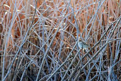 Alviso Photograph - Alviso Marsh California White Crowned Sparrow  by Peri Ann Taylor