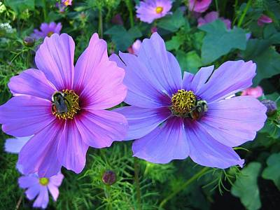 Lilac Photograph - Always Loved Cosmos by Shirley Sirois