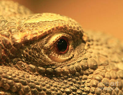 Always Watch Your Back - Benti Uromastyx Lizard Art Print by Inspired Nature Photography Fine Art Photography