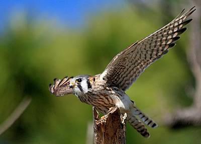 Photograph - Amarican Kestrel by Ira Runyan