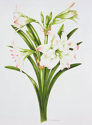 White Flowers Painting - Amarylis Mary Lou by Sally Crosthwaite