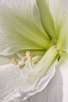 Anthers Photograph - Amaryllis by Adam Romanowicz