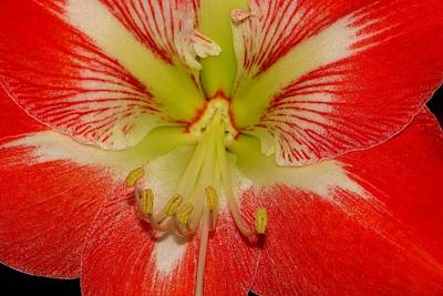 Photograph - Amaryllis by Anthony Seeker