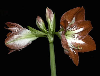 Photograph - Amaryllis Belladona by Gary Neiss