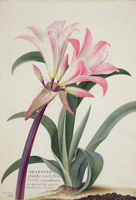Flower Wall Art - Painting - Amaryllis Belladonna, 1761 by Georg Dionysius Ehret