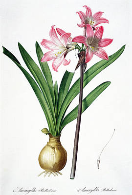 Liliacees Painting - Amaryllis Belladonna by Pierre Joseph Redoute