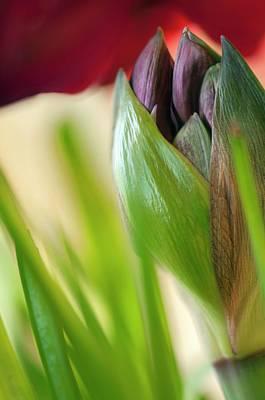Amaryllis Bud (hippeastrum) Art Print