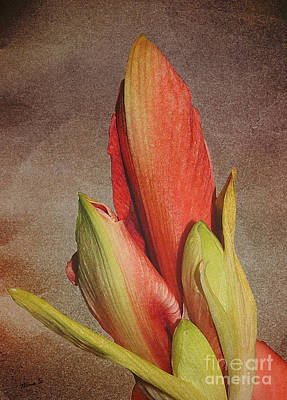 Photograph - Amaryllis Buds And Paper by Nina Silver