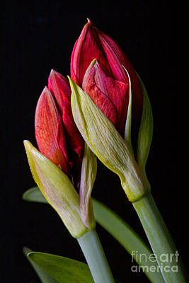 Photograph - Amaryllis Buds by Craig Lovell
