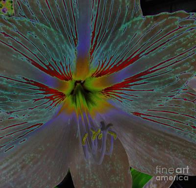 Amaryllis Colors Art Print by D Hackett