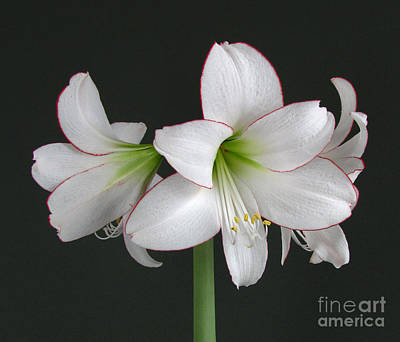 Photograph - Amaryllis by Deborah Johnson