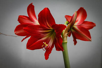 Photograph - Amaryllis by Donald Chen