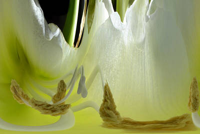Photograph - Amaryllis Dream by Terence Davis