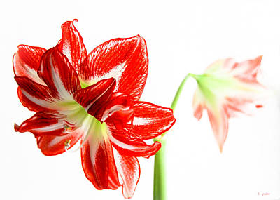 Photograph - Amaryllis Duet by Tony Grider