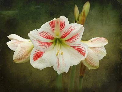 Photograph - Amaryllis by Erin Tucker