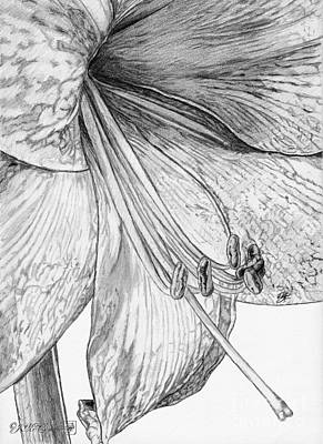 Amaryllis Drawing - Amaryllis by J McCombie