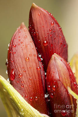 Photograph - Amaryllis by Meg Rousher