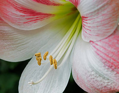 Photograph - Amaryllis Memories by Lara Ellis