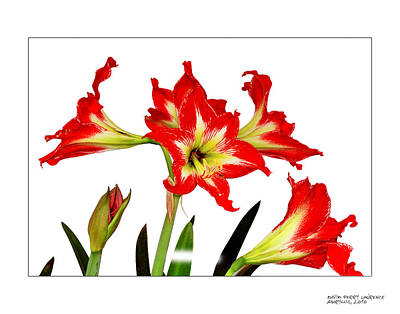 Art Print featuring the photograph Amaryllis On White by David Perry Lawrence