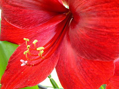 Photograph - Amaryllis by Peggy King