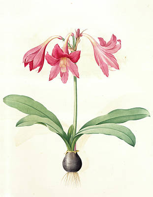 Amaryllis Reticulata, Hippeastrum Reticulatum Amaryllis En Art Print