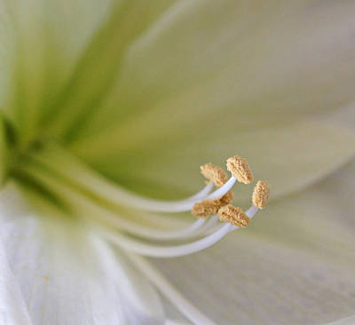 Photograph - Amaryllis  by Sandy Keeton