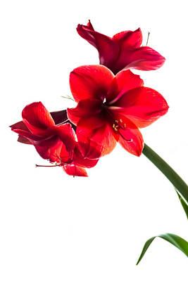 Floral Art Photograph - Amaryllis by Sara Frank