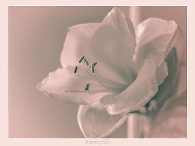 Photograph - Amaryllis  by Yvon van der Wijk