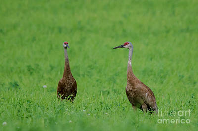 Photograph - Amazing Cranes by Cheryl Baxter