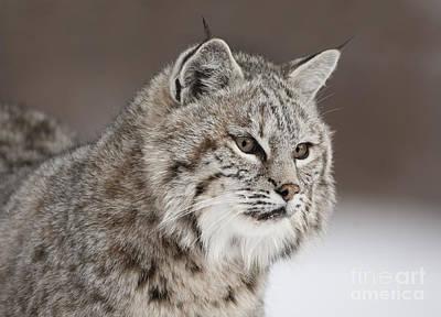 Wild Cats Photograph - Amazing Gaze by Wildlife Fine Art