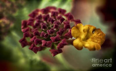 Photograph - Amazing Lantana Tree by Cris Hayes