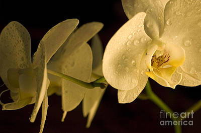 Wet Orchids Photograph - Amazing Orchid 2 by Micah May