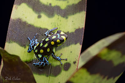 Frogs Photograph - Amazon Poison Arrow Frog by Dirk Ercken