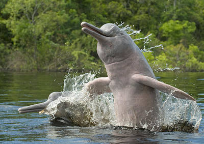 Schafer Photograph - Amazon River Dolphins Jumping Brazil by Kevin Schafer