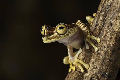 Amazon Tree Frog Print by Dirk Ercken