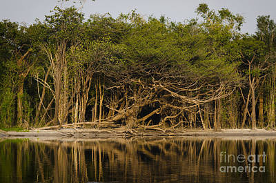 Photograph - Amazon Trees by Ricardo Lisboa