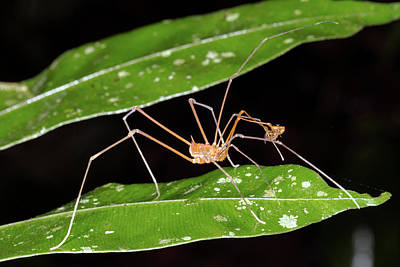 Harvestmen Photograph - Amazonian Harvestman by Dr Morley Read