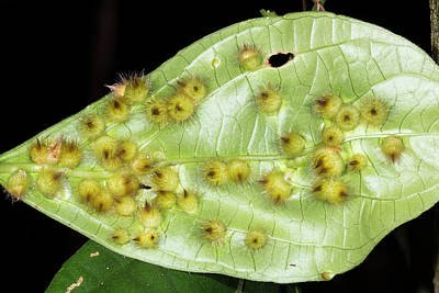 Ecuadorean Fauna Photograph - Amazonian Leaf Galls by Dr Morley Read