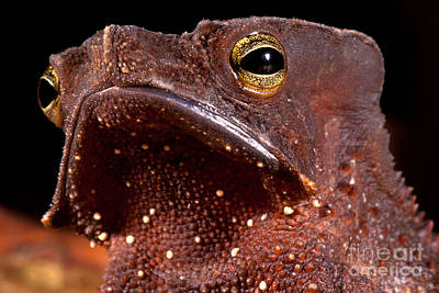 Bufonidae Photograph - Amazonian Leaf Toad by Dante Fenolio