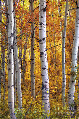 Fall Foliage Photograph - Amber Aspens by Marco Crupi