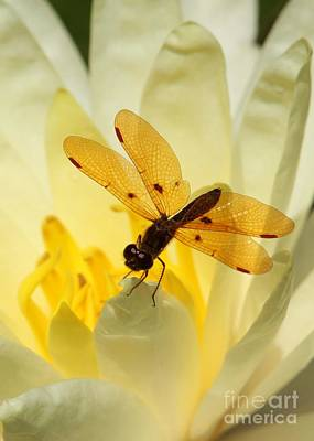 Amber Dragonfly Dancer Art Print