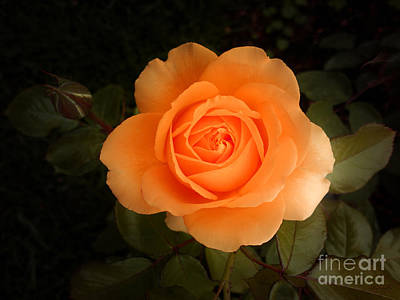 Amber Flush Rose Art Print by Hanza Turgul
