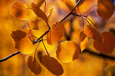 Amber Leaves Art Print by The Forests Edge Photography - Diane Sandoval