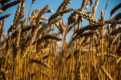 Photograph - Amber Waves Of Grain by Gene Sherrill
